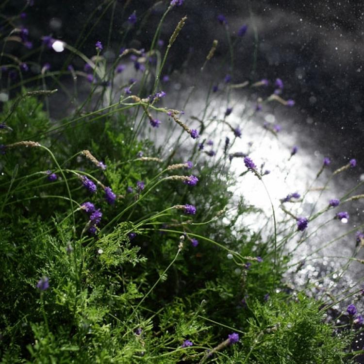 花園綻放之薰衣草